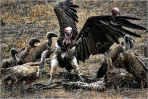 Vulture Fight