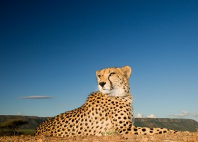 Cheetah on blue 2