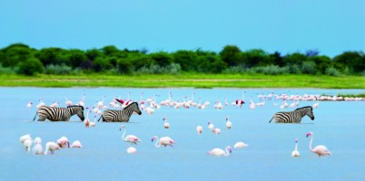 Zebras and flamingoes