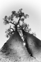 Madagascar Baobabs in black and white
