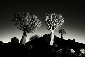 Quiver trees in black and white
