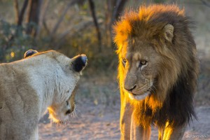 Male lion staring at lioness at sunset