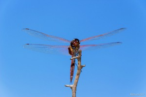 Front View of a Red Dragonfly Perched on a Branch