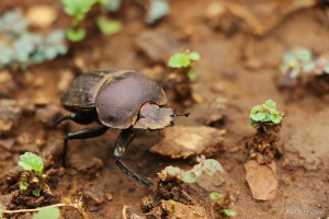 Dung Beetle Walking on the Ground