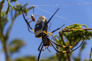 Golden Orb Weaver Spider with a Young Baby