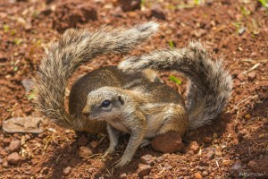 Two Ground Squirrels with Folded Tails