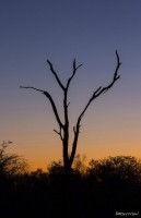 Dead tree silhouetted against a colorful blue and orange sky