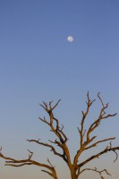 Early morning light on a dead tree with the moon in the background