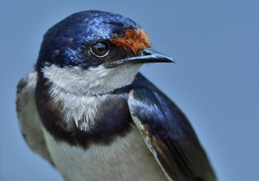 White-throated Swallow Portrait