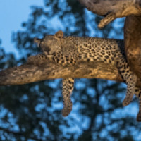 Leopards of Africa