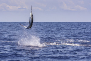 Sailfish 2