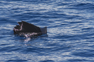 Sailfish 1
