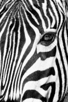 Zebra face Black and White