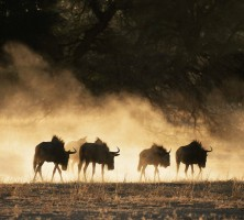 Blue wildebeest square