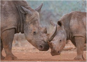 Rhino Siblings