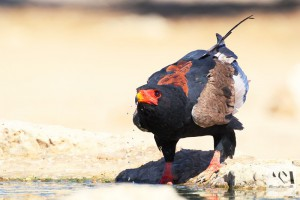 Bateleur and water droplets