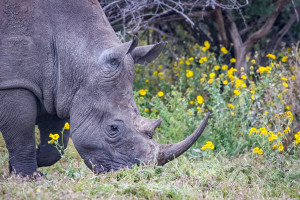 Rhino & the flowers