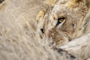 Lion abstract 2