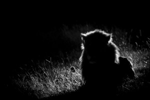 Lion backlight